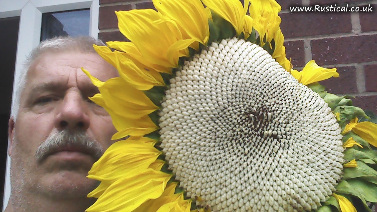Flower head from 2015 giant sunflower