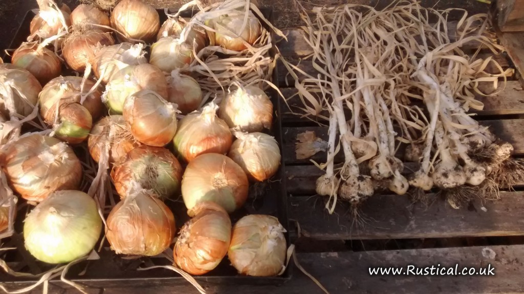 2015 onion and garlic harvest