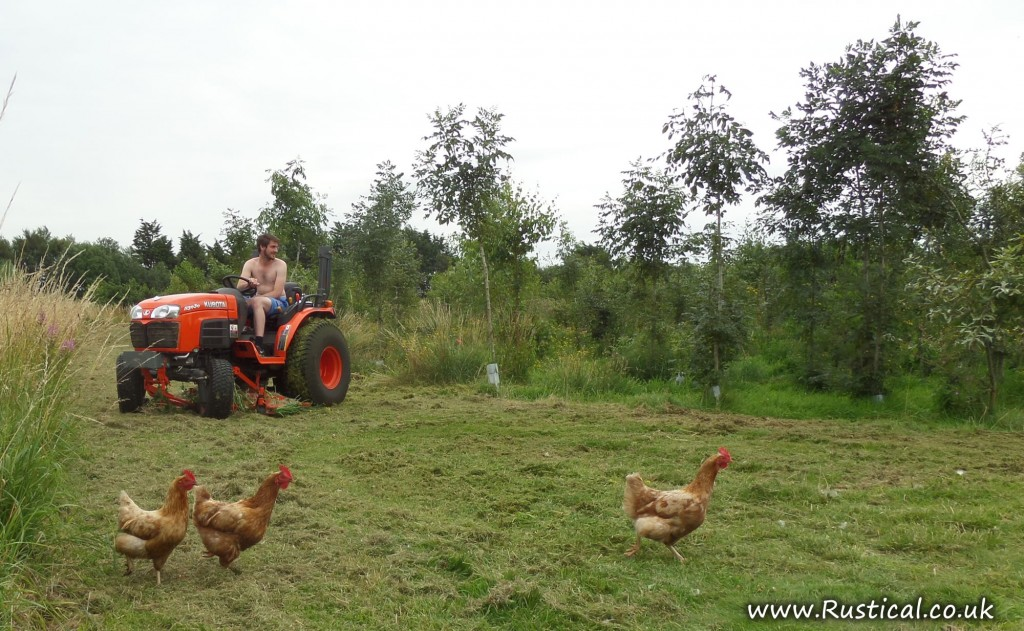 Mowing coppice with Kubota tractor and spectating hens