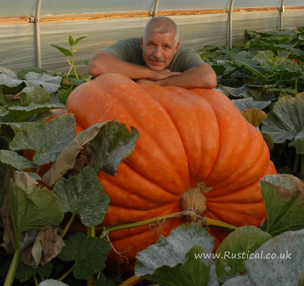 A nicely shaped orange coloured giant pumpkin