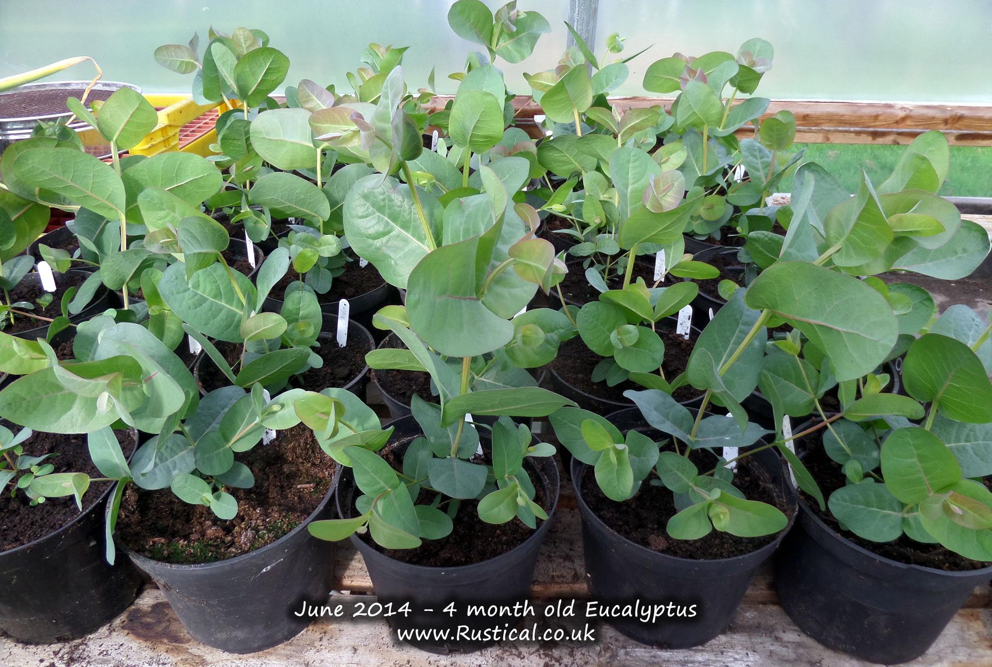 4 month old Eucalyptus (June 2014)