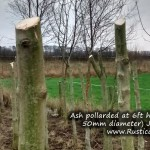 Ash pollarded at 6ft high