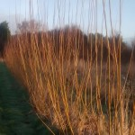 SRC Willow after one year of regrowth