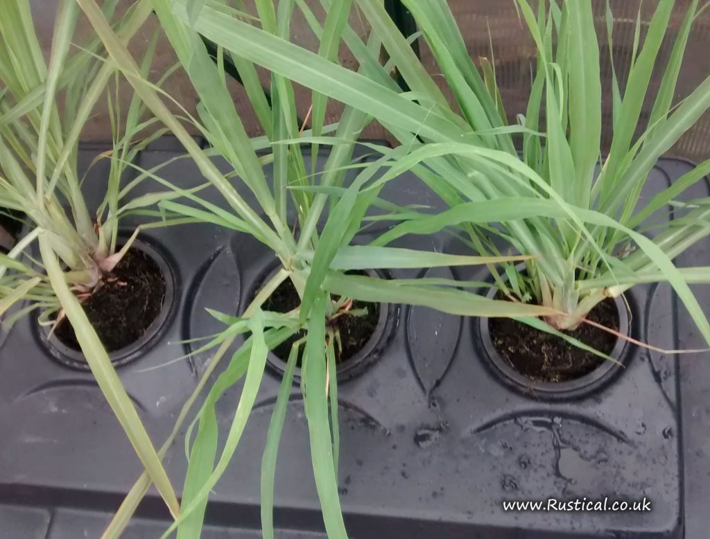 Trialling Lemongrass plants in a aeroponics tank