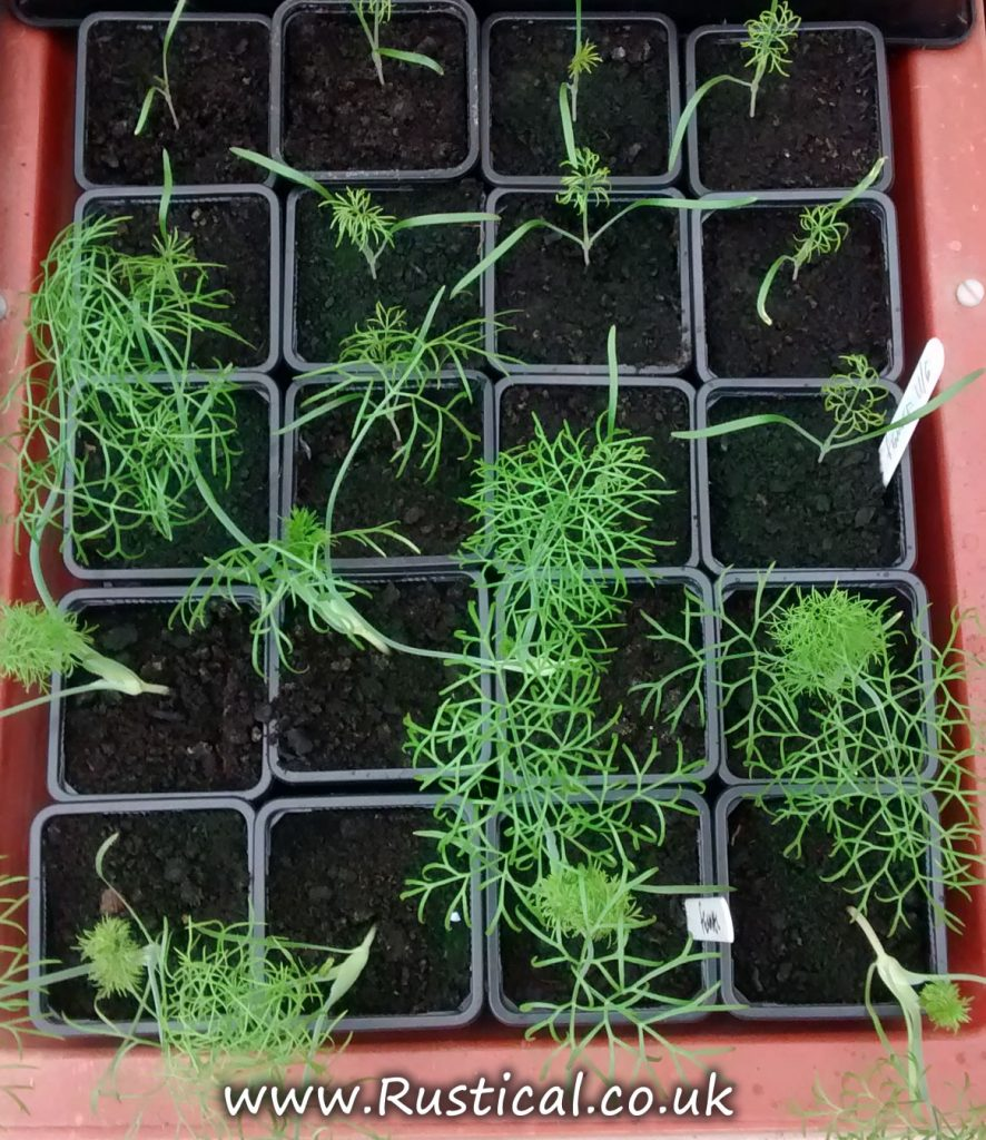 Fennel plants in an NFT hydroponic system