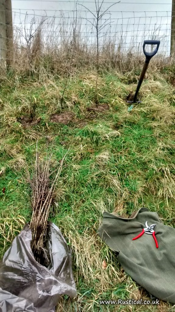 Planting bare rooted Hawthorn in hedge gaps