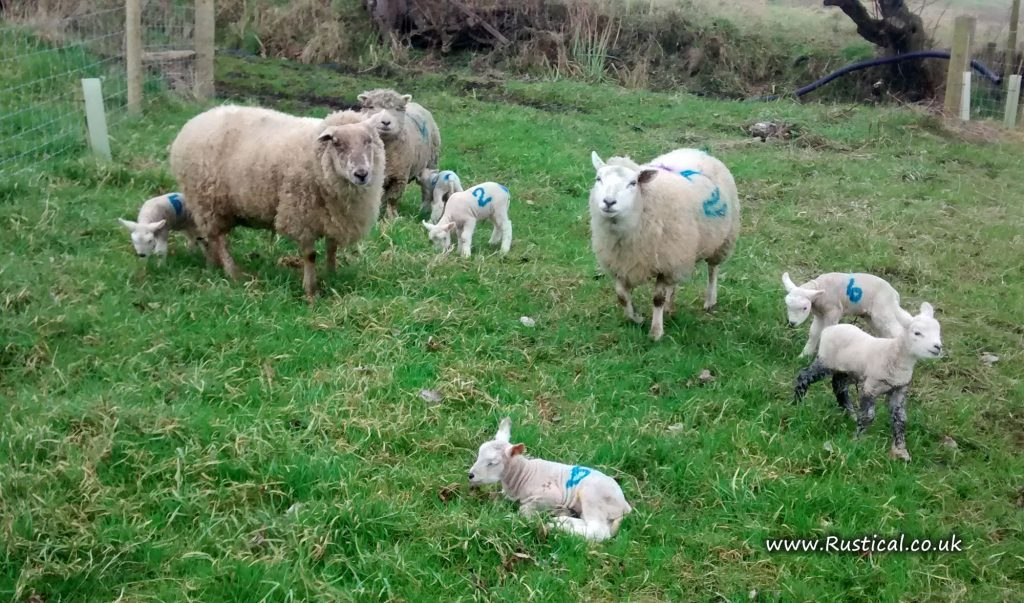 The first lambs of 2017 arrive