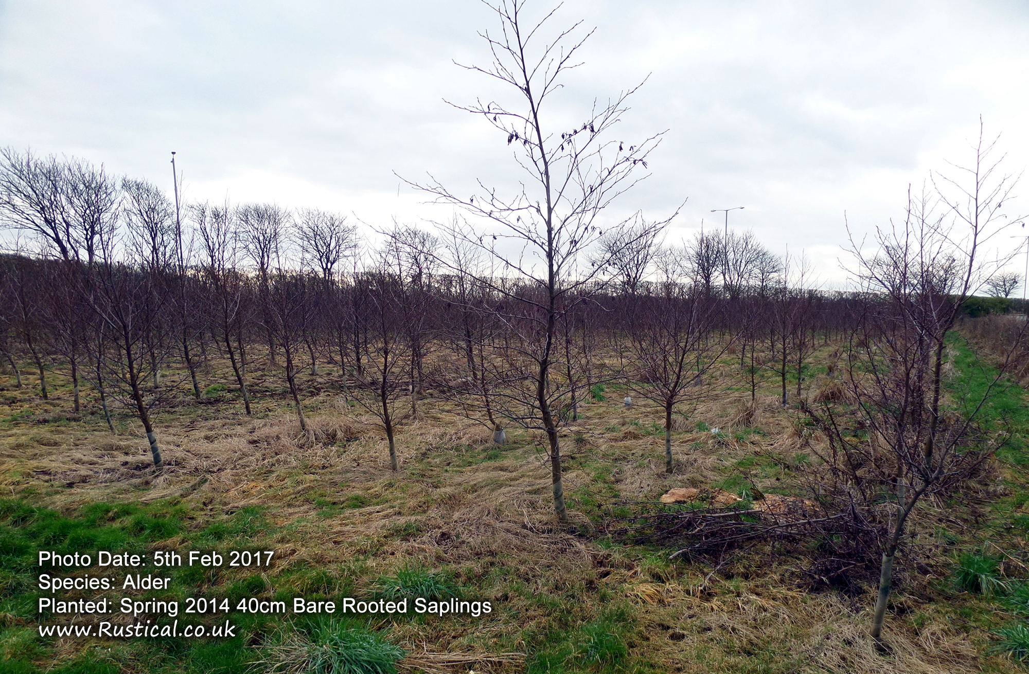 Alder - 3 years on from planting