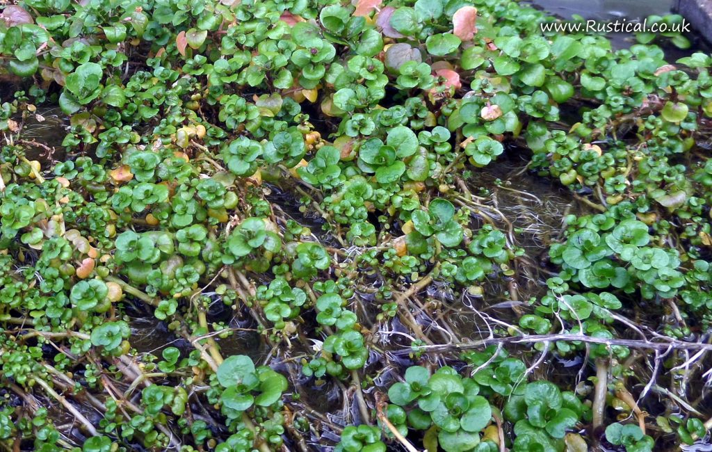 Aquaponic Watercress