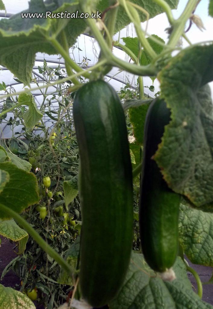 Cucumber 'Socrates'