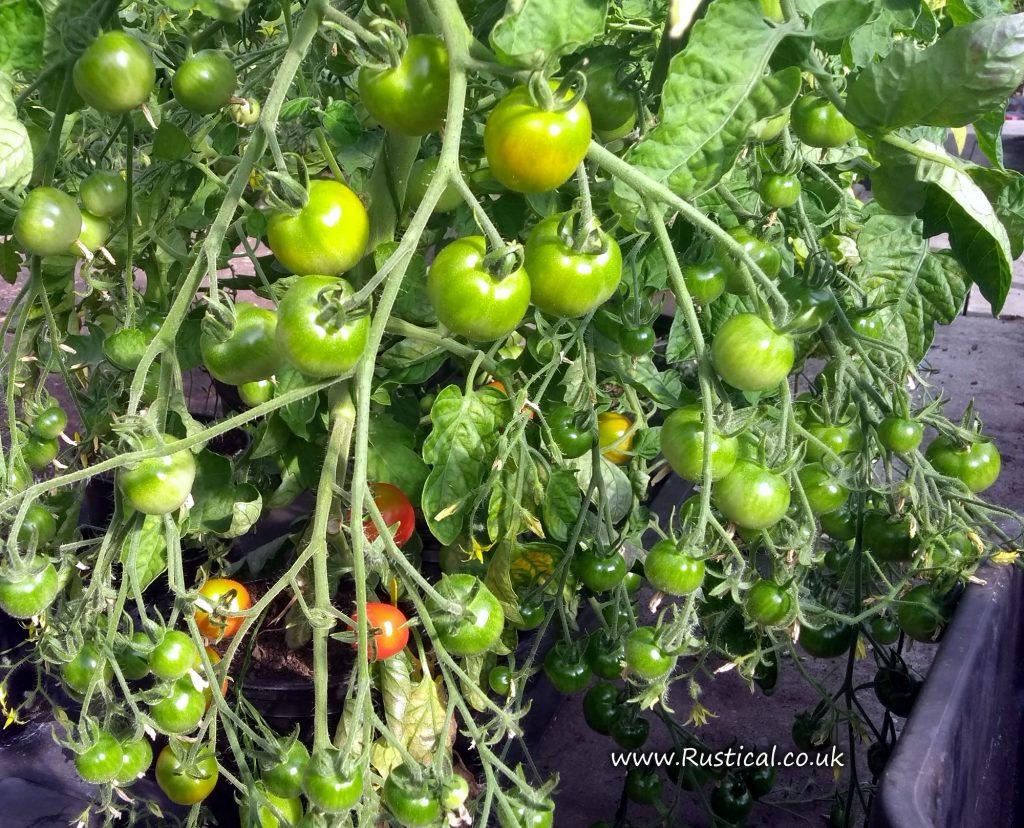 Gardener's Delight tomato plant