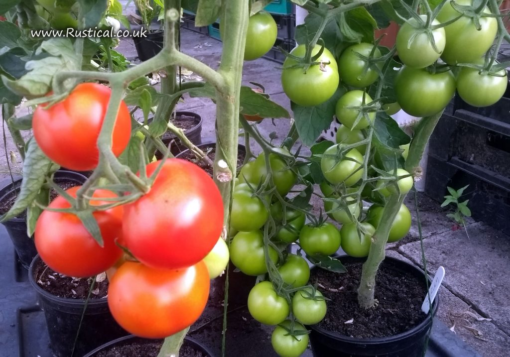 Tomato 'Shirley'