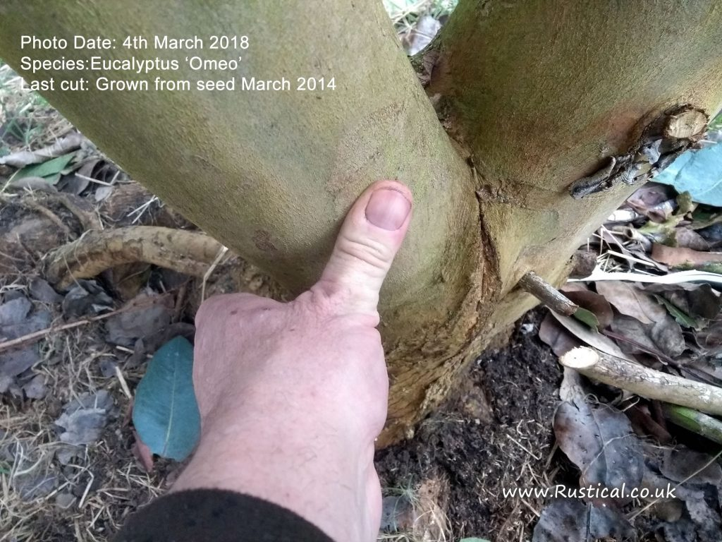 Growing firewood 2018 update - Eucalyptus Omeo