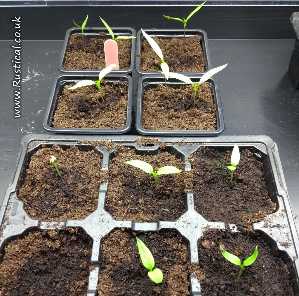 Germinating 'Long Chilli' plants