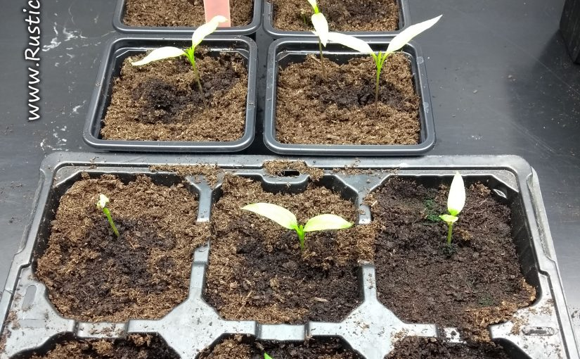 Long Chilli Competition plants