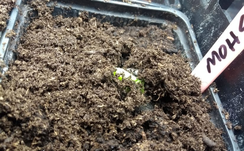 The first of our 2018 giant pumpkin seeds emerges