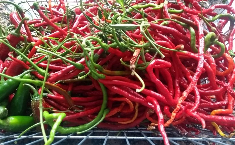 Chilli harvest and Autumn tidy up