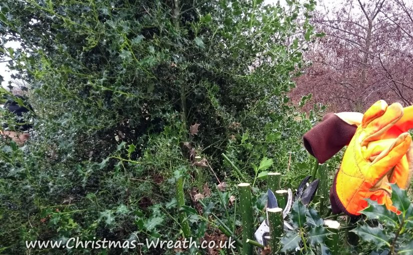 Harvesting Holly