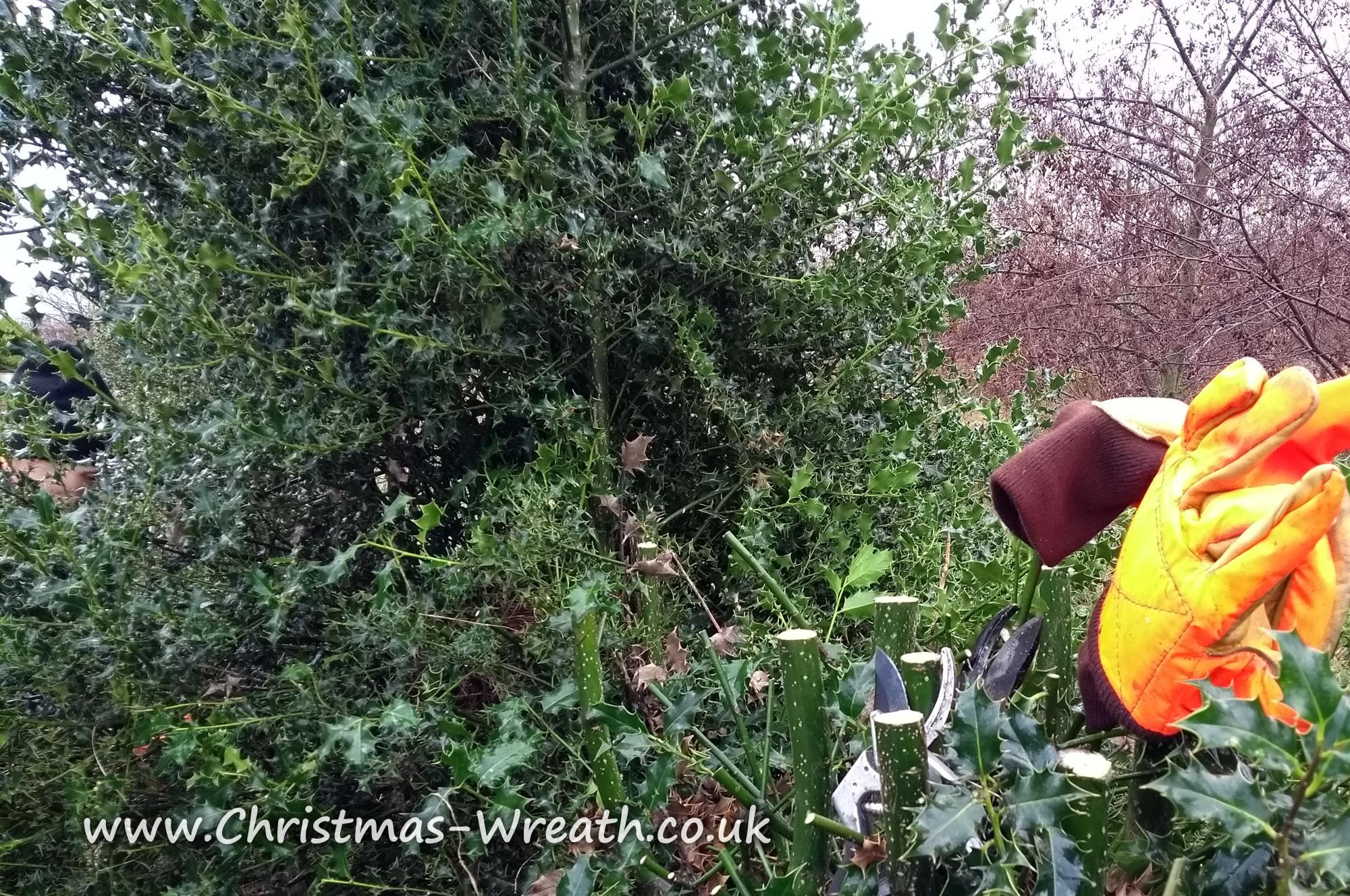 Harvesting Holly