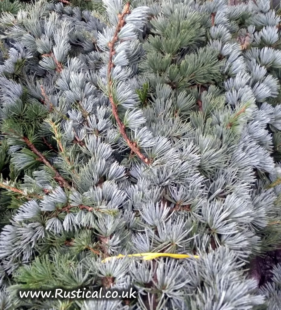Fresh Blue Cedar Foliage