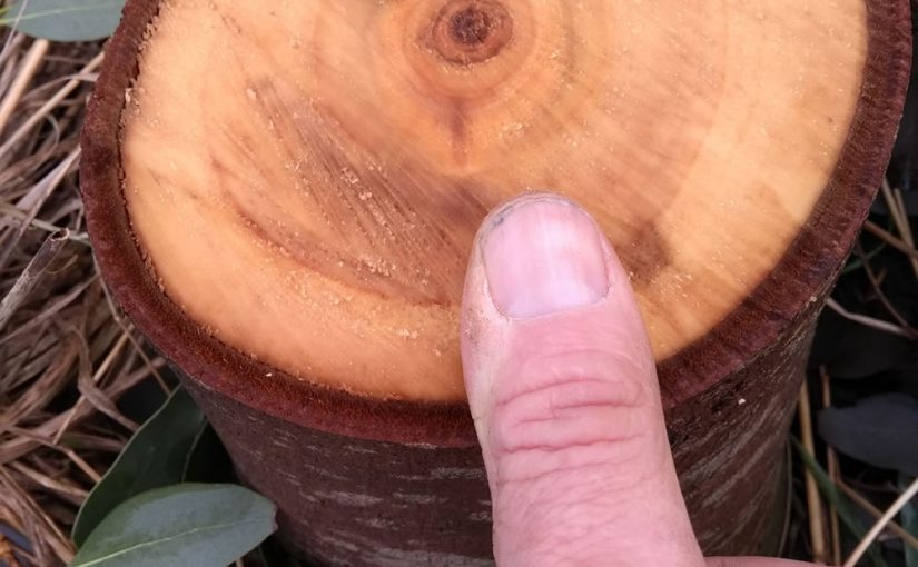 Growing Firewood - Eucalyptus Gunni - five years of growth